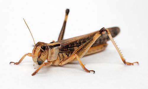 insectes frais chaque semaine